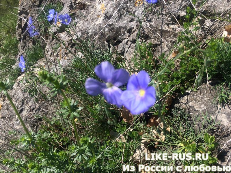 Цветы на хребте Герпегем, окрестность пос. Псебай